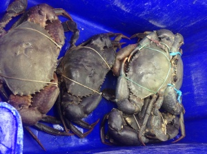 big mud crabs