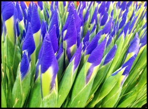 Vibrant Iris'